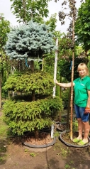 Picea pungens Glauca Globosa ТРИ КУЛІ ТОПІАР