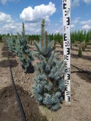 Picea pungens Iseli Fastigiate в питомнике