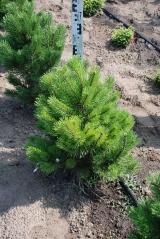 Pinus mugo Gnom посадка