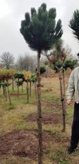 Pinus sylvestris Watereri на штамбе