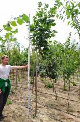 Acer platanoides посадка