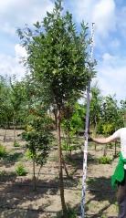 Sorbus aria летом