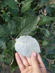 Рябина / Сорбус круглолистная нижняя окраска листа