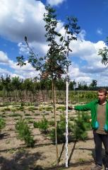 Sorbus aucuparia посадка в поле