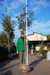 Рябина обыкновенная 240 см