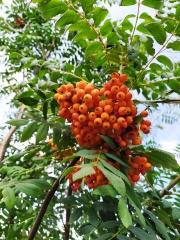 Рябина обыкновенная ягоды