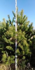 Сосна обыкновенная 2,5м