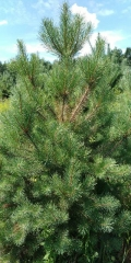 Pinus sylvestris 170см