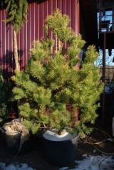 Pinus sylvestris / Сосна обыкновенная ком в контейнере