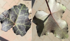 Плющ обыкновенный (окраска листа)