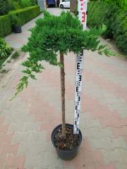 Juniperus procumbens Nana плакучий на штамбе 1,0м
