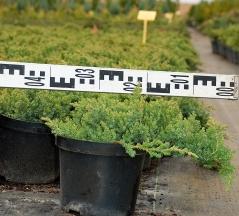 Можжевельник лежачий Нана диаметр растения 40см