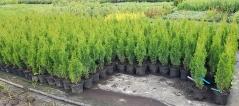 Thuja occidentalis Degroot's Spire цена