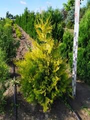 Thuja occidentalis Yellow Ribbon летом