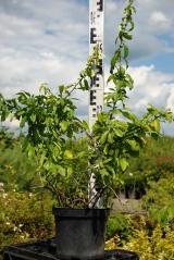 Chaenomeles japonica Nicoline летом