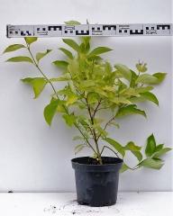 Дерен белый Ауреа диаметр растения 60см