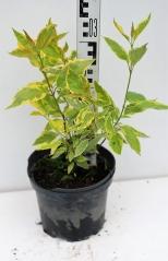 Дерен белый Гоучаулти высота растения 35см