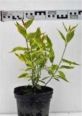 Дерен белый Гоучаулти диаметр растения 30см