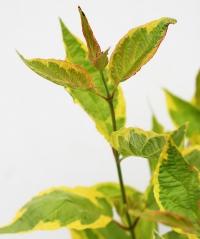 Дерен белый Гоучаулти (окраска листа)