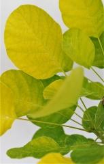Скумпия кожевенная Голден Спирит (окраска листьев)