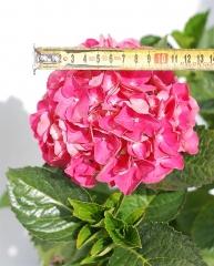 Гортензия крупнолистная Сибилла (соцветие)