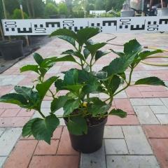Hydrangea macrophylla Masja Киев