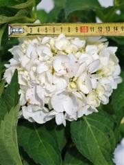 Гортензия крупнолистная Соер Терез (цветок)