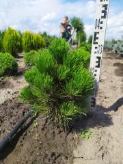Pinus Compact Gem посадка в поле