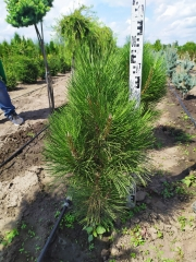 Pinus heldreichii / leucodermis Compact Gem 0,8м