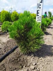 Pinus heldreichii Compact Gem посадка