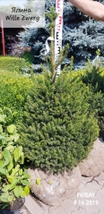 Picea abies Will's Zwerg (ком)