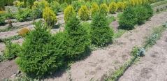 Picea Will's Zwerg в питомнике