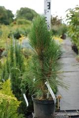 Pinus Fastigiata