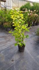 Пузыреплодник калинолистный Лютеус / Physocarpus opulifolius Luteus цена