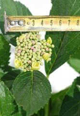 Гортензия крупнолистная Мариесии Перфекта (не расцветший цветок)