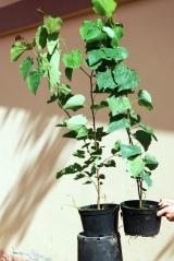 Церцис канадский / Иудино дерево контейнер 3л