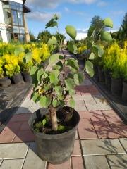 Иудино дерево летом