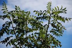 Ясень обыкновенный крона