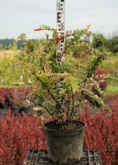 Berberis thunbergii  Silver Beauty 0,5м