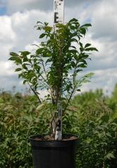 Euonymus alatus Compactus 0,5м