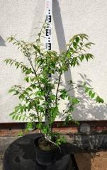 Бересклет крылатый Компактус в садовом центре