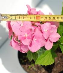 Гортензия крупнолистная Блаумайс (размер цветков)