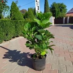 Гортензия садовая Блаумайс Киев