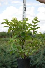 Hydrangea paniculata Mega весной