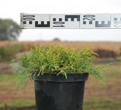 Кипарисовик Санголд диаметр растения 25см