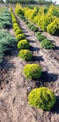 Thuja occidentalis Mirjam ® посадка в питомнике