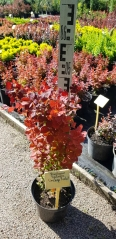Berberis Orange Rocket PBR/®