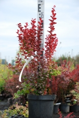 Berberis Orange Rocket купить