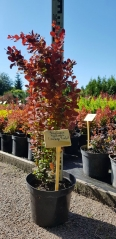 Berberis thunbergii Orange Rocket летом