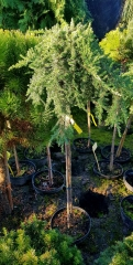 Juniperus communis Greenmantle